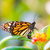 macro of a monarch butterfly on a flower stock photo © manfredxy