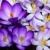 açafrão · flores · flor · jardim · fundo - foto stock © manfredxy