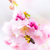 bee flying to pink cherry blossoms stock photo © manfredxy