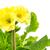 isolado · amarelo · prímula · flor · macro · folha - foto stock © manfredxy