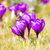 paars · krokus · bloesems · macro · groep · bloem - stockfoto © manfredxy