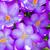krokus · bloemen · voorjaar · tijd · druppels · bloem - stockfoto © manfredxy