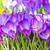 purple crocus flowers stock photo © manfredxy