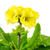 isolado · amarelo · prímula · flor · macro - foto stock © manfredxy