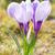 krokus · bloem · paars · witte · gras · bloemen - stockfoto © manfredxy