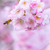 bee at a flowering cherry tree stock photo © manfredxy