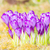 primavera · floral · azafrán · flores · invierno · temprano - foto stock © manfredxy