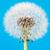 paardebloem · bloem · zaden · macro · plant · zaad - stockfoto © manfredxy