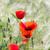 piros · pipacsok · kukoricamező · természet · kukorica · mezőgazdaság - stock fotó © manfredxy