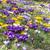 kikerics · virágok · lila · citromsárga · fehér · fényes - stock fotó © manfredxy