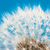 Dandelion flower seeds blowball stock photo © manfredxy