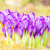 bahar · çiğdem · çiçekler · kış · erken - stok fotoğraf © manfredxy