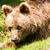 brown bear portrait stock photo © manfredxy