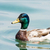 swimming male wild duck stock photo © manfredxy