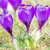 purple crocus flowers in spring stock photo © manfredxy