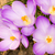 purple crocus blossoms stock photo © manfredxy