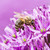 bee collecing pollen on a giant onion flower stock photo © manfredxy