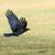 uçan · siyah · çayır · kuş · tüy · hayvan - stok fotoğraf © manfredxy