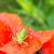 緑 · グラスホッパー · 座って · 赤 · ケシ · 花 - ストックフォト © manfredxy