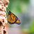 macro of a monarch butterfly stock photo © manfredxy