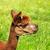 a alpaca eats a blade of grass stock photo © marekusz