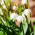 スノーフレーク · 春の花 · クローズアップ · マクロ · ショット · 花 - ストックフォト © marekusz