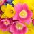 チューリップ · スイセン · 美 · ピンク · チューリップ · 花 - ストックフォト © marilyna