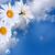 çiçekler · bulutlu · gökyüzü · çiçek · bahar · papatya - stok fotoğraf © marisha