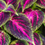 close up of coleus leaves painted nettleflame nettle stock photo © mariusz_prusaczyk