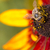 close up photo of a western honey bee gathering nectar and spreading pollen on a young autumn sun co stock photo © mariusz_prusaczyk