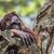 yetişkin · erkek · orangutan · doğa · ada - stok fotoğraf © Mariusz_Prusaczyk