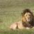 portrait of lion in masai mara kenya stock photo © mariusz_prusaczyk