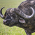 african buffalo syncerus caffer on the grass the photo was ta stock photo © mariusz_prusaczyk