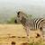 zebra · áll · vár · locsol · lyuk · égbolt - stock fotó © markdescande