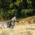 zebra · bom · outro · campo · céu · grama - foto stock © markdescande