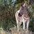 zebra · néz · hatalmas · bokor · mögött · fű - stock fotó © markdescande
