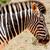 zebra · lefelé · néz · gondolkodik · áll · mező · égbolt - stock fotó © markdescande