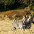 zebra · áll · néz · fűmező · égbolt · fű - stock fotó © markdescande
