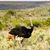 ostrich taking time out of his day to get his picture taken stock photo © markdescande