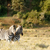 nap · lefelé · kettő · zebrák · hosszú · fű - stock fotó © markdescande