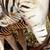 alföld · zebra · iszik · ivóvíz · dél · víz - stock fotó © markdescande