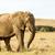 afrikai · elefánt · áll · mező · fű · magas · rövid - stock fotó © markdescande