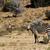 hegy · zebrák · veszélyeztetett · zebra · park · Dél-Afrika - stock fotó © markdescande