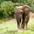 nagy · afrikai · bokor · elefánt · hatalmas · alsónadrágok - stock fotó © markdescande
