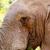 éléphant · manger · feuille · regarder · forêt · nature - photo stock © markdescande