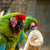 parrot sitting on a thick branch stock photo © markdescande