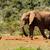 bokor · elefánt · bámul · madár · locsol · lyuk - stock fotó © markdescande