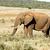 słoń · afrykański · stałego · słoń · dziedzinie · jedzenie · trawy - zdjęcia stock © markdescande