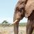 African Elephant walking and looking down on the ground stock photo © markdescande