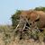 arbusto · elefante · em · pé · grande · presa · campo - foto stock © markdescande